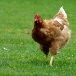Poultry Farming in Nigeria; 9 Steps to start + Free practical farm training