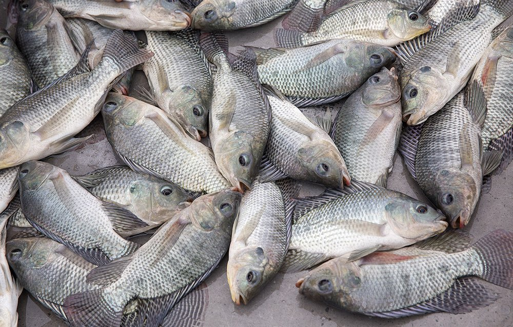 Fish farming in nigeria 9 steps to start free practical for Is tilapia fish good for you