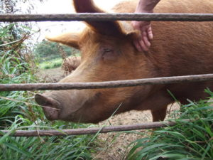 Pig for the animal husbandry
