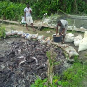 Another picture from our Ogun associate's fish farm