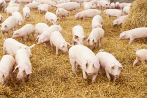 Pig Farming in Kenya & The Secrets of Making Millions [step by step guide]