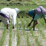 Rice Farming & Production in Nigeria & How to Make it Big