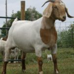 Goat Farming in Nigeria  (how to start & make money)