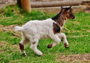 Small goat on a goat farm