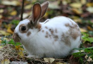 Californian rabbit rearing in South Africa