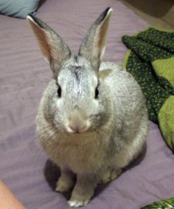 Rabbit farming in Nigeria; Chinchilla rabbit