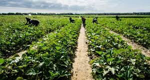 Vegetable farming in Nigeria