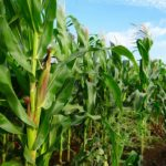 Maize Farming in Nigeria & Secrets of making millions