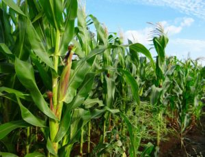 Maize Farming in Nigeria