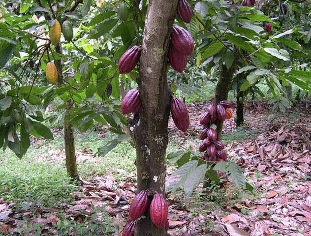Cocoa farming in Nigeria