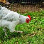 Broiler Production/Farming in Nigeria (Post + Free practical training on our farm)