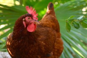 Layer Poultry Farming in Nigeria