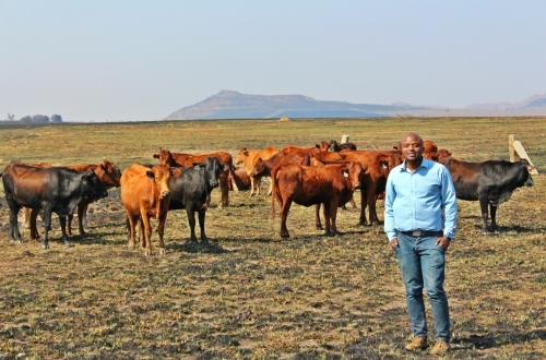 Cattle farming; a man behind rearing Cows